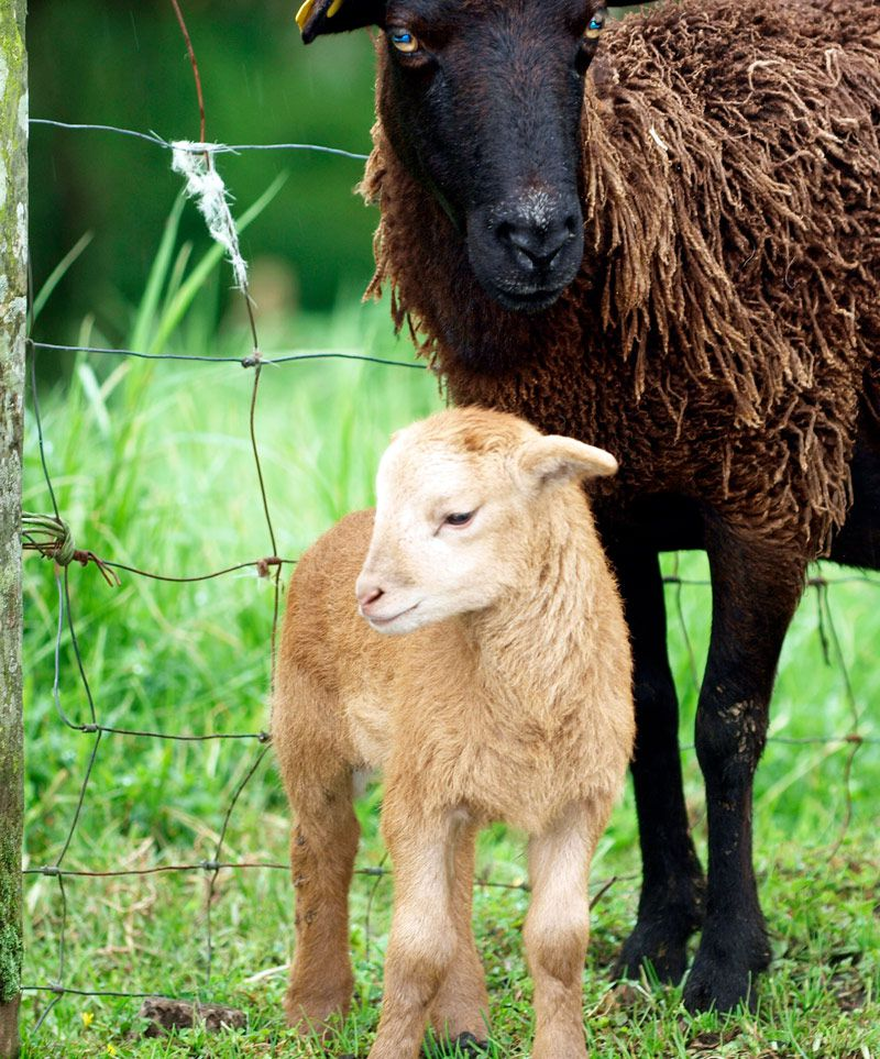 BIOLAM is a milk replacer for lambs